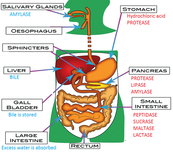Digestive    Enzymes  Simplified Biology