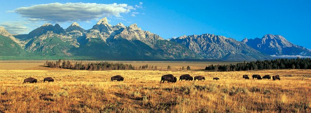 Buffalo grazing on the plains in front of a mountain. There are no traces of humans.