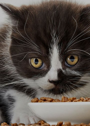 black and white kitten eating kibble