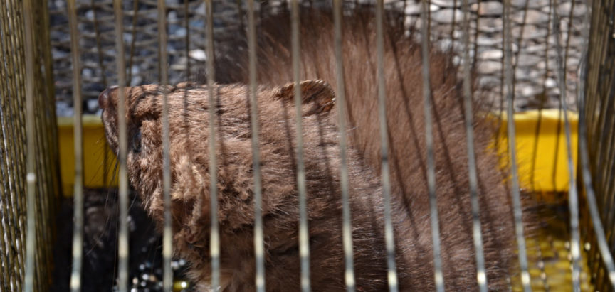 Foto/video: Na Gračacu umjesto lisice u kavezu završila lasica