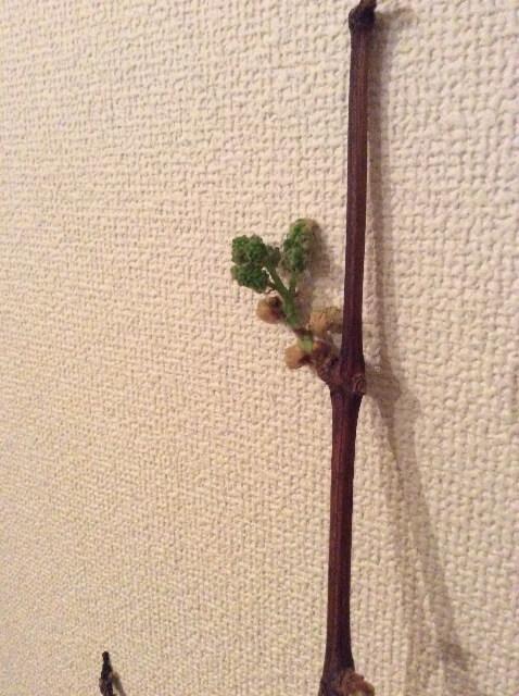 ぶどうの枝