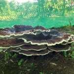 Biggest Mushroom in the Jungle
