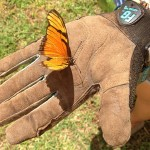 Caterpillar That Eats Passion Fruit Leaves