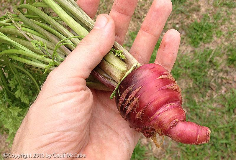 Stumpy Red Carrot - too much nitrogen?