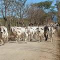 Cow Poop!  Manure is Buniga