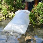 Releasing baby tilapia fish into our pond