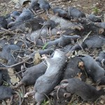 Dead Rat Nest