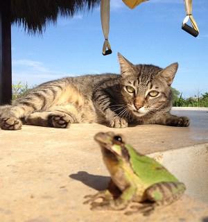 Cat wants frog