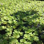 Water Plants in Tropical Permaculture