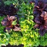 Lechugas- Lettuces