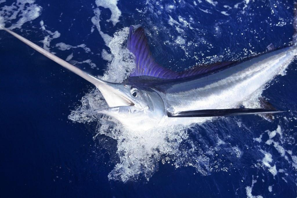 white marlin by Rancho San Lucas