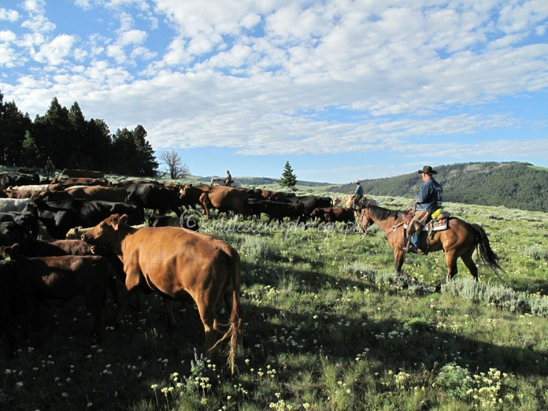 Moving cattle to high country in Montana
