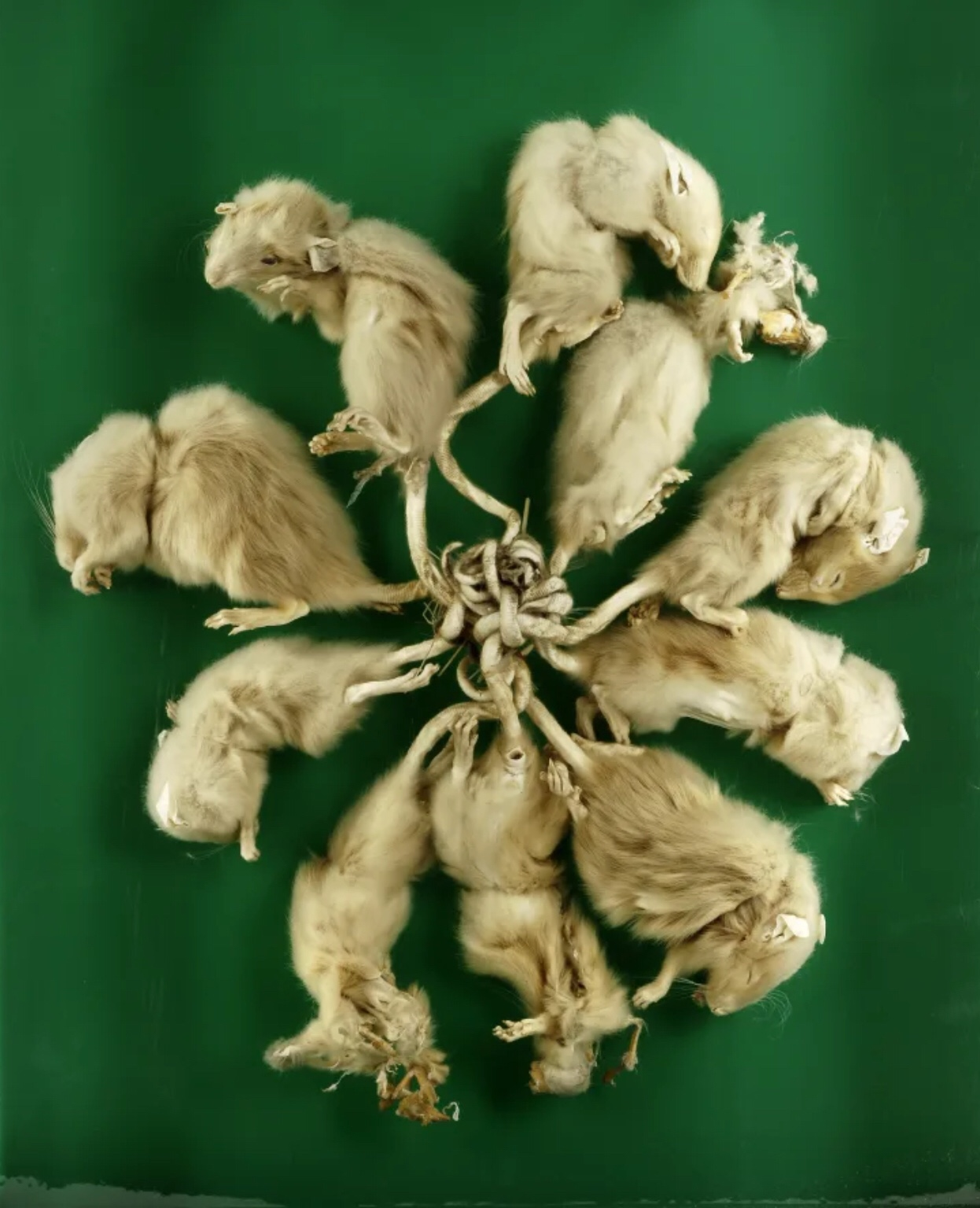 The insane, inconclusive truth behind Rat Kings, the grotesque tangled Super-Rodents