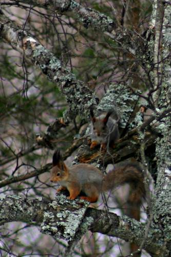 Two squirrels in a tree