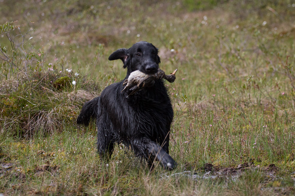 flatcoated retriever running with waterfowl