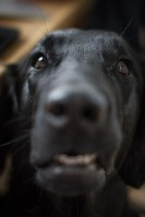 flatcoated retrievers head