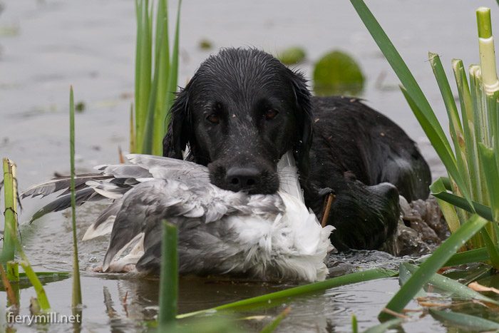 flatcoated retriever in water returning a seagull