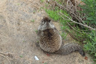 Friendly ground squirrel