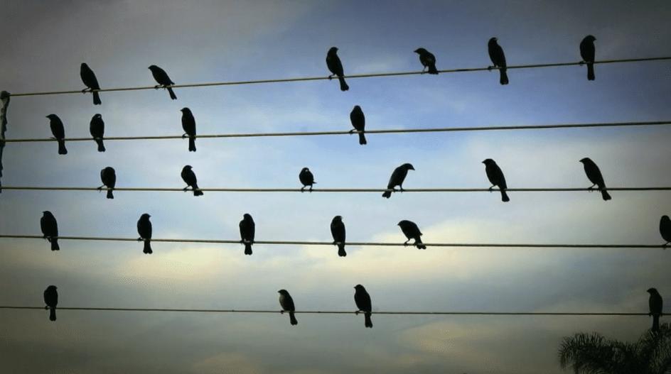 Música dos passarinhos nos fios de energia
