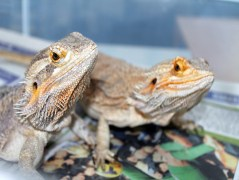 Bearded Dragons, Kenzi and Bo