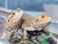 Bearded Dragons, Kenzi and Bo