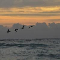 Pelicans fly