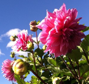 dinner plate dahlias chamrickwriter randomstoryteller