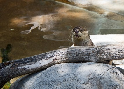 Otter at San Diego Zoo