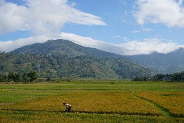 Trabajando en los arrozales con las montañas de fondo, en las tierras centrales