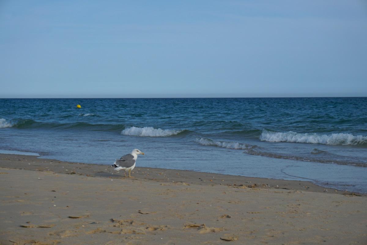 Gaviota en la playa de Cabanas