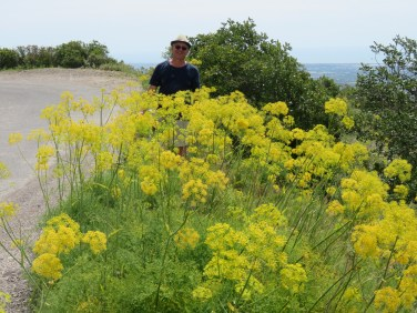 Huge patches of wild fennel everywhere.