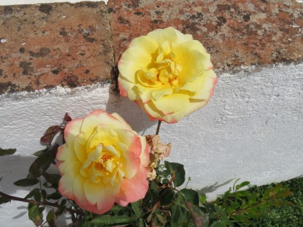 These pink and yellow roses had a soft sweet smell.