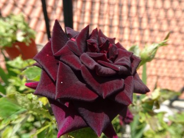 This rose was almost black it was so rich in colour.
