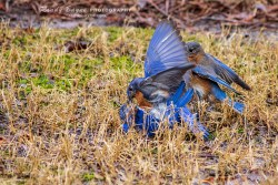 Bluebird fight