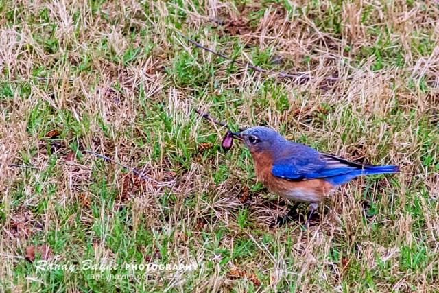 Bluebird with beetle