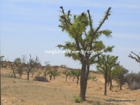 Stunted khejri trees famous for sangaria fruit