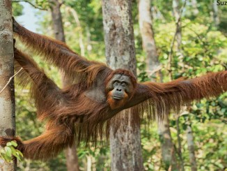 Orangutan Photo by Suzi Eszterhas 1156x650