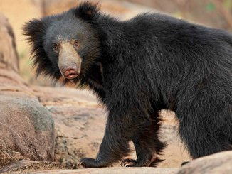 Sloth Bear Ranger Rick Jr March 2017
