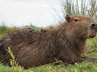 Mystery Animal Capybara Ranger Rick Jr March 2016