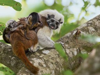 Cotton-Top Tamarins Ranger Rick June July 2017