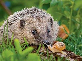 Hedgehog Ranger Rick August 2017