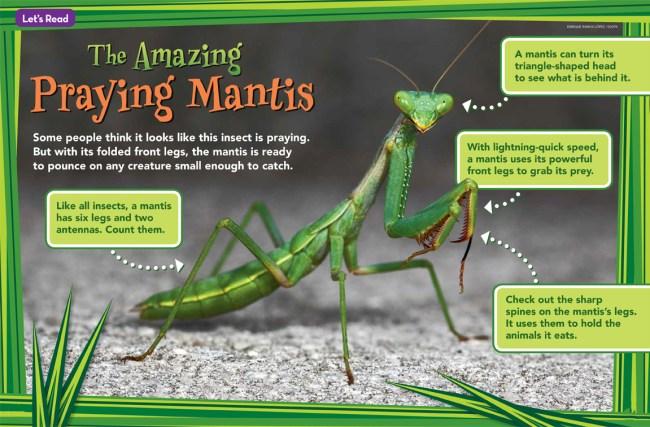 Praying Mantis Ranger Rick Jr August 2016 1