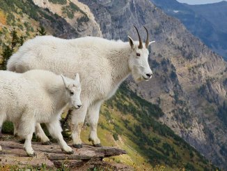 Mountain Goats Ranger Rick Jr May 2017