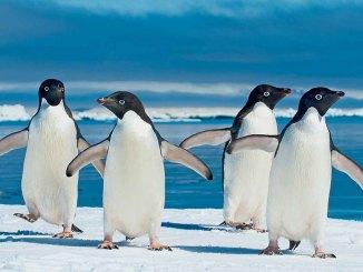 Adelie Penguins Dec/Jan 2018