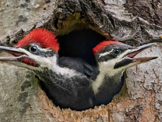 Woodpeckers Ranger Rick Jr September 2017