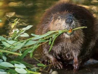 Leave it to Beavers by Suzi Eszterhas - May 2018 Ranger Rick