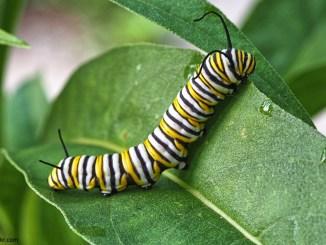 Caterpillar by John Brandauer/flickr - May 2018 RR Jr.