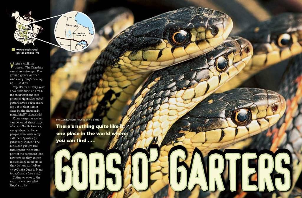 Ranger Rick Garter Snakes April 2015 1