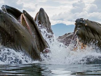 HUMPBACKS-by-JON-CORNFORTH-SEAPICSCOM-1156x650