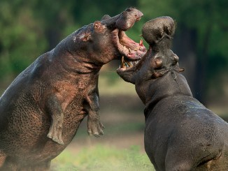 Ranger Rick Hippos May 2015